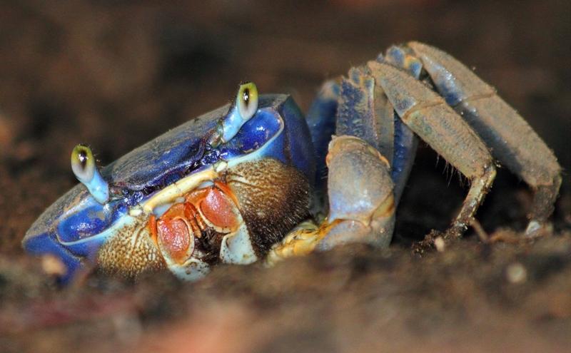 Blue Land Crab Blue Land Crab Cardisoma